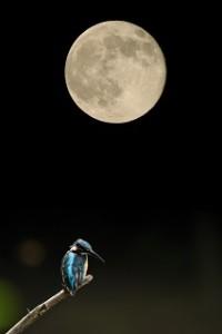 月とカワセミ