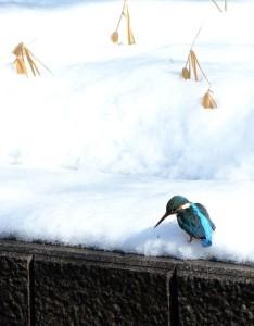 2018雪とカワセミ