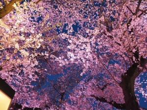 桜2018_2