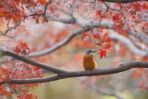 紅葉とカワセミ2
